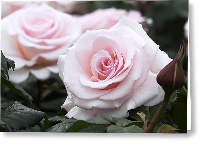 Blush Pink Roses Greeting Card