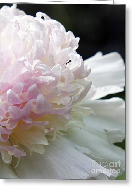 Blushing Peony  Greeting Card