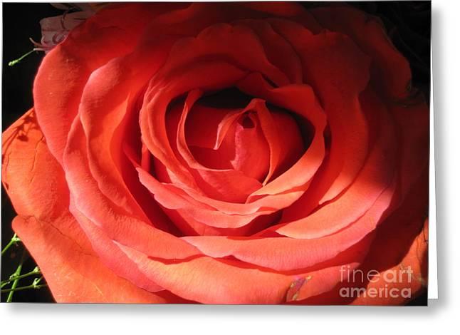 Blushing Orange Rose 3 Greeting Card by Tara  Shalton