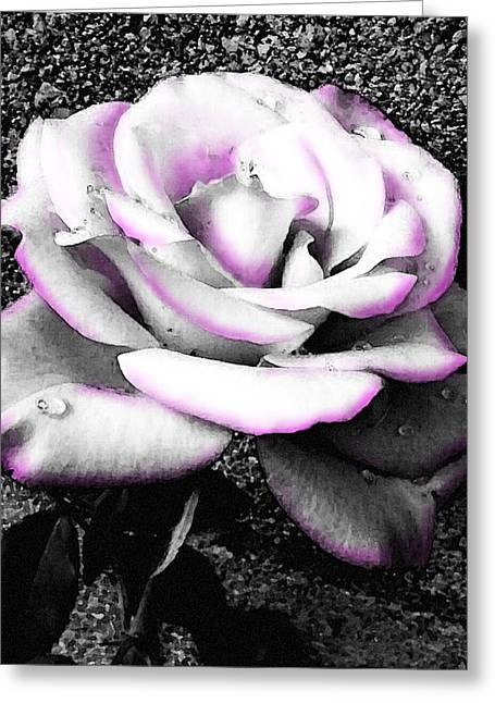 Greeting Card featuring the photograph Blushing White Rose by Shawna Rowe