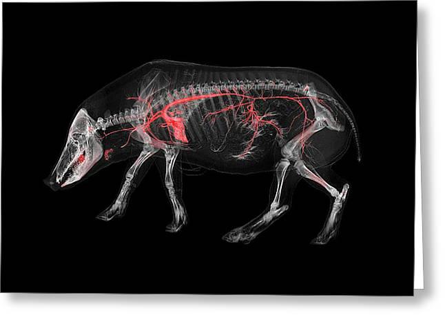 Boar Skeleton And Blood Vessels Greeting Card