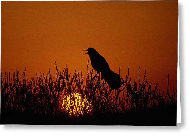 Boat-tailed Grackle Cassidix Mexicanus Greeting Card by Panoramic Images