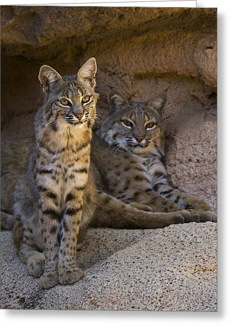 Greeting Card featuring the photograph Bobcat 8 by Arterra Picture Library