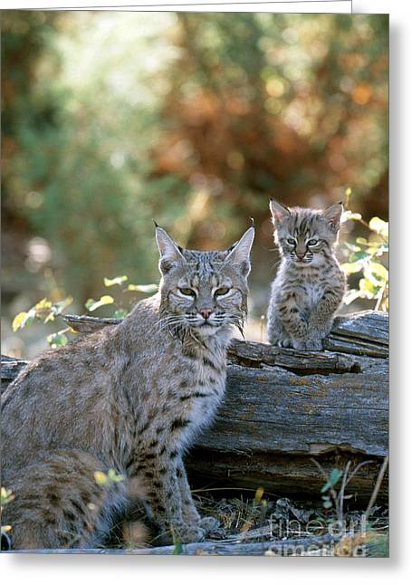 Bobcat Adult And Young Lynx Rufus Greeting Card by Art Wolfe