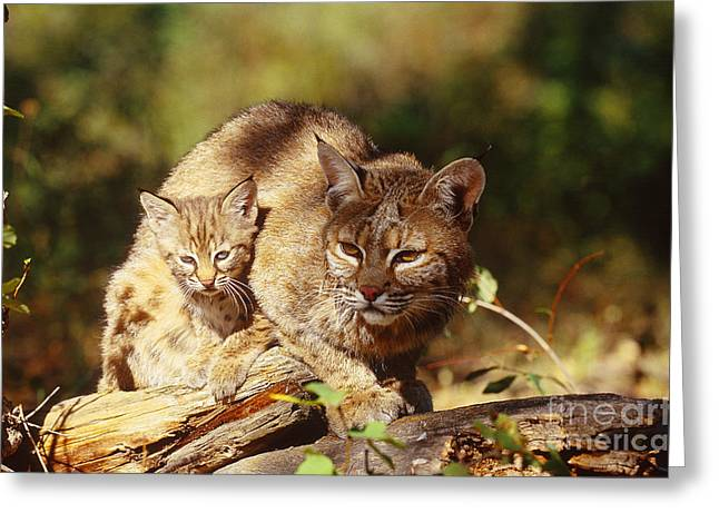 Bobcat And Young, Montana Greeting Card by Art Wolfe