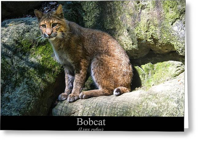 Bobcat Greeting Card by Chris Flees