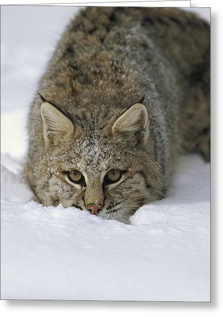 Bobcat Crouching In Snow Colorado Greeting Card