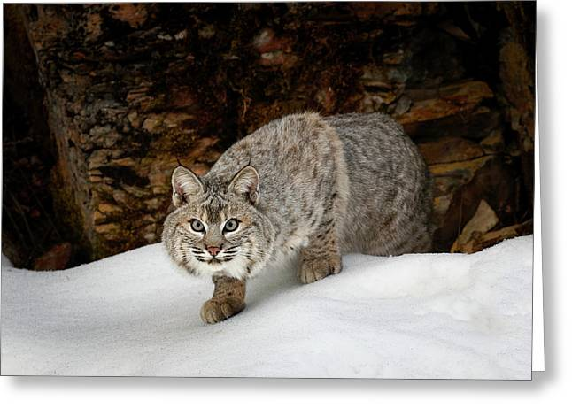 Bobcat In Snow (captive Greeting Card