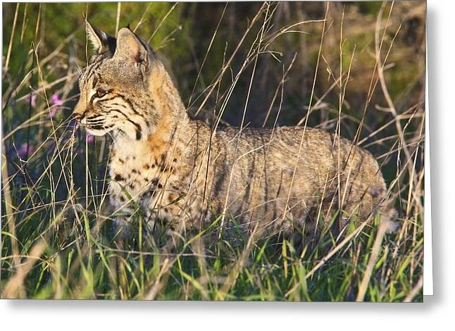 Bobcat In The Grass Greeting Card by Beth Sargent