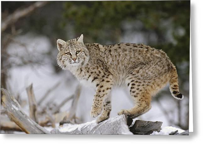 Bobcat In Winter Colorado Greeting Card