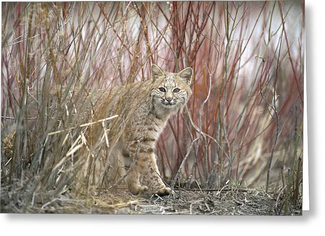 Bobcat Juvenile Emerging From Dry Grass Greeting Card