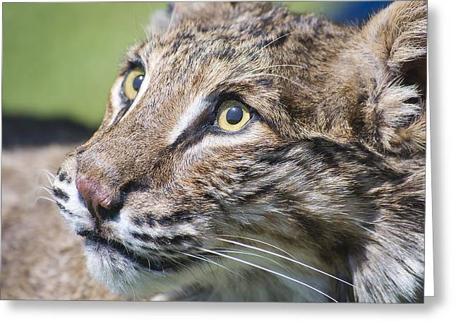 Bobcat Greeting Card by Kenneth Albin