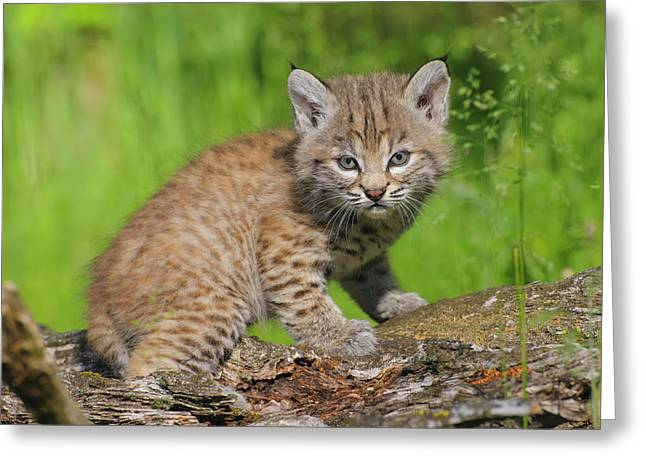 Bobcat Kitten  Felis Rufus  On Log Greeting Card by Rebecca Grambo