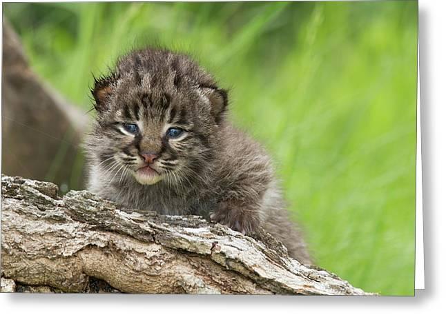 Bobcat Lynx Rufus Kitten Greeting Card