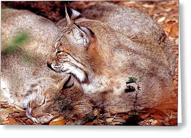 Bobcat Lynx Rufus Greeting Card