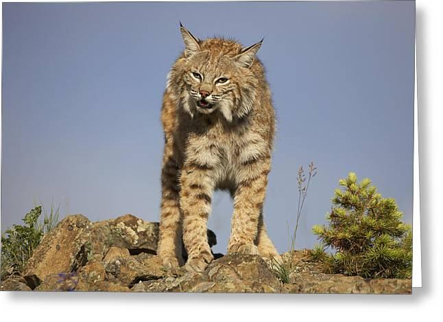 Bobcat North America Greeting Card