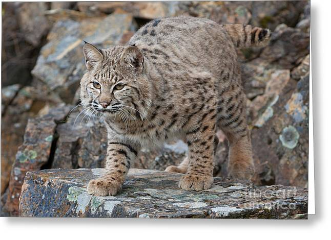 Bobcat On Rock Greeting Card by Jerry Fornarotto