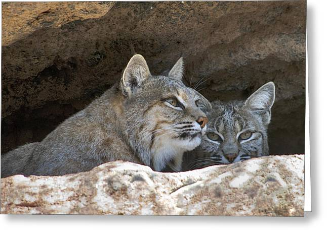 Bobcat Pair Greeting Card by Paul Riedinger