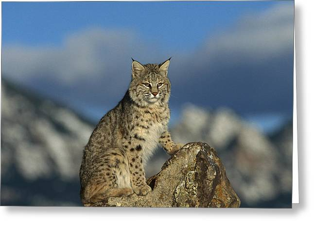 Bobcat  Rocky Mountains Greeting Card by Konrad Wothe