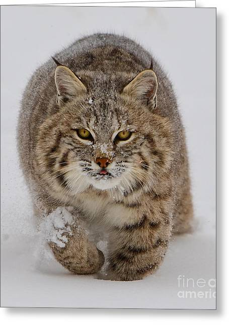 Bobcat Running Forward Greeting Card by Jerry Fornarotto