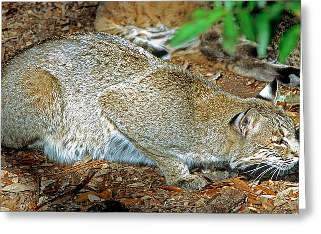 Bobcat Stalking Prey Greeting Card