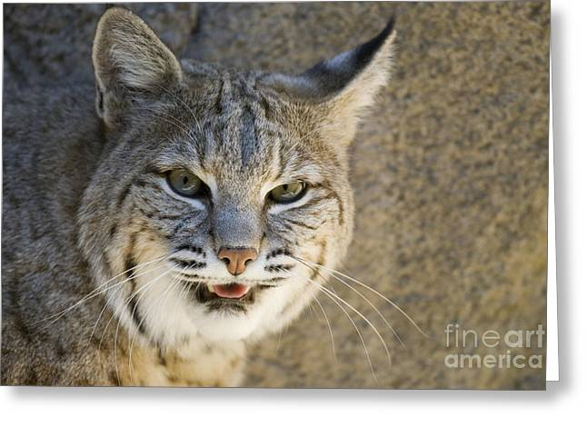 Bobcat Greeting Card by William H. Mullins