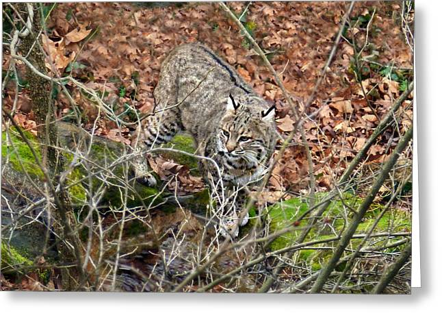 Greeting Card featuring the photograph Bobcat by William Tanneberger