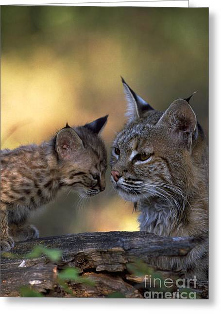 Bobcat With Kitten Greeting Card by Art Wolfe