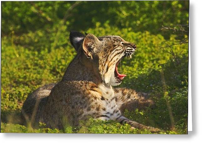 Bobcat Yawn Greeting Card by Beth Sargent