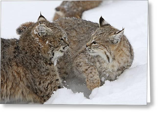 Bobcats Greeting Card