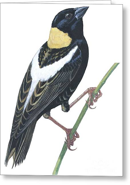 Bobolink Greeting Card by Anonymous
