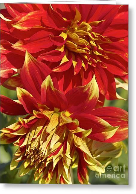 Bodacious Dahlia 2 Greeting Card