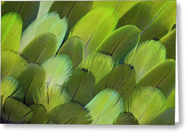 Body Feather Fan Design Of The Amazon Greeting Card by Darrell Gulin