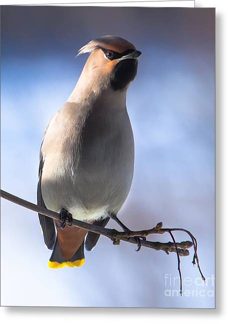 Greeting Card featuring the photograph Bohemian Waxwing Blue by Rose-Maries Pictures
