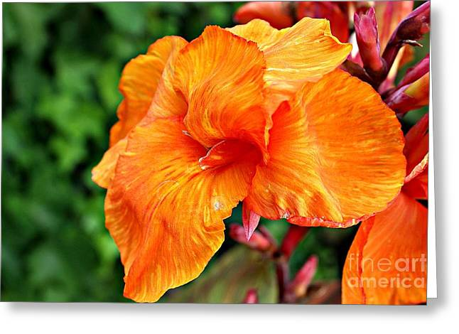 Canna Tropicanna Greeting Card by Clare Bevan