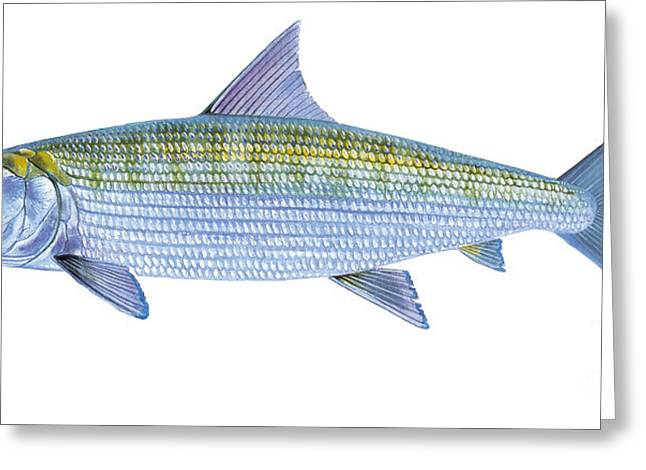 Bass Pro Shops Greeting Cards - Bonefish Greeting Card by Carey Chen