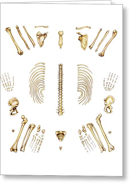 Atlas bone greeting cards page 2 of 18 fine art america bones of trunk and limbs greeting card m4hsunfo Image collections