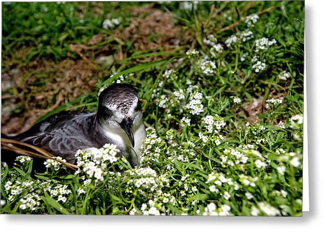 Bonin Petrel (pterodroma Hypoleuca Greeting Card by Daisy Gilardini