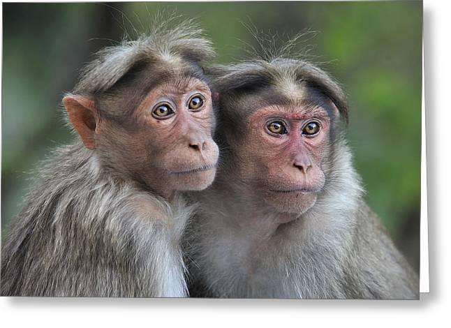 Bonnet Macaque Pair Huddling India Greeting Card