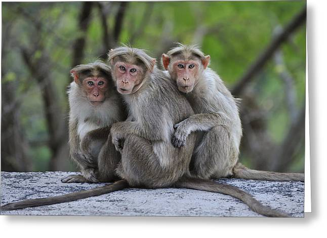Bonnet Macaque Trio Huddling India Greeting Card by Thomas Marent
