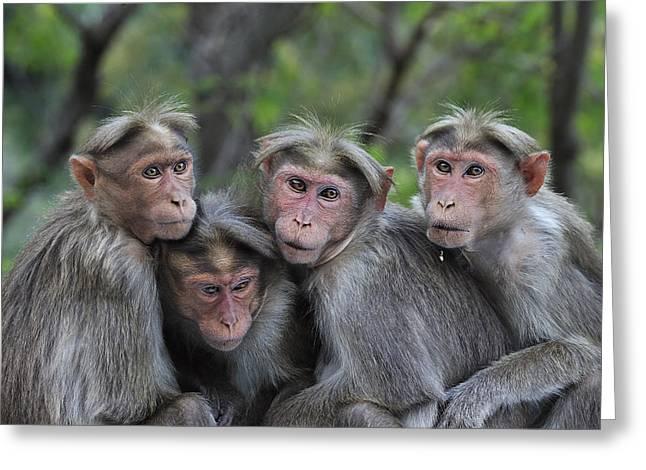 Bonnet Macaques Huddling India Greeting Card