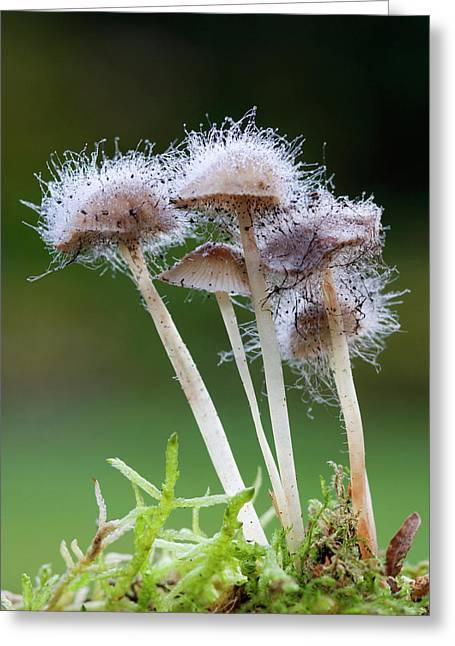 Bonnet Mould (spinellus Fusiger) Greeting Card by Nigel Downer