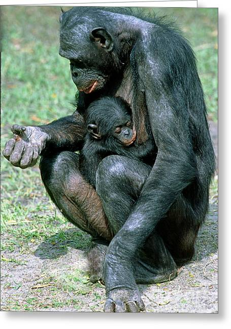 Bonobo Pan Paniscus Nursing Greeting Card by Millard H. Sharp