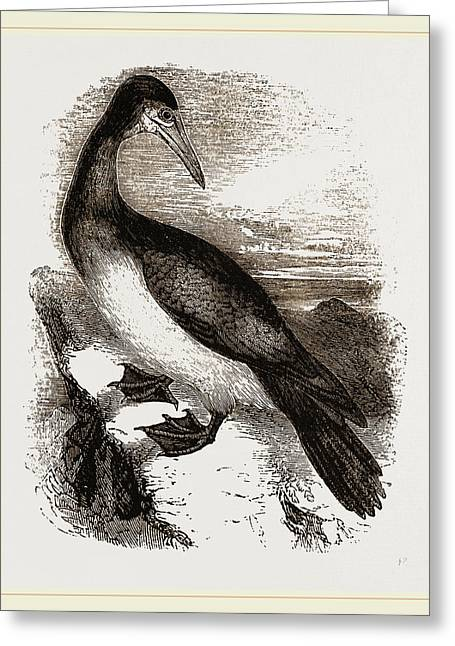 Booby Or Brown Gannet Greeting Card