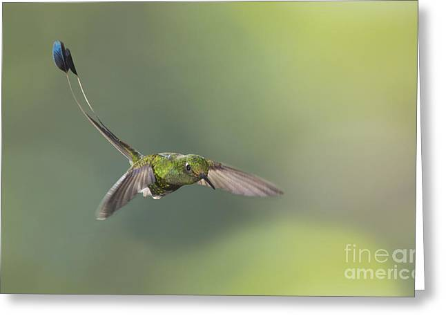 Booted Racket-tail Hummingbird Greeting Card by Dan Suzio