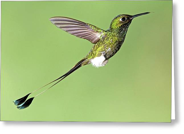 Booted Racket-tail Hummingbird Greeting Card by Tony Camacho/science Photo Library