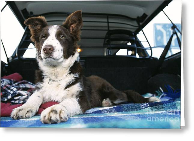 Border Collie In Car Greeting Card by Johan De Meester