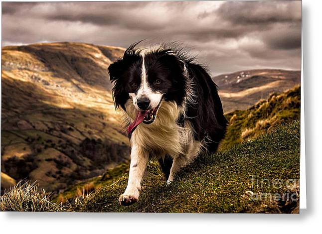 Border Collie  Greeting Card by Marvin Blaine