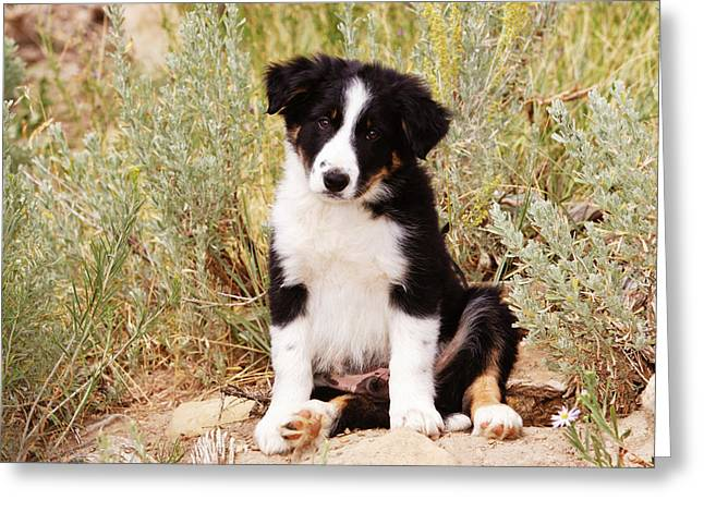 Border Collie Puppy Sitting On Rock Greeting Card by Piperanne Worcester