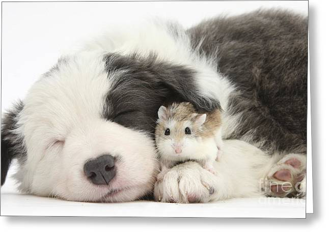 Border Collie Puppy With Roborovski Greeting Card by Mark Taylor